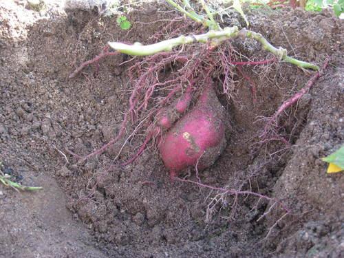 H29 さつま芋掘り (5).JPGのサムネイル画像