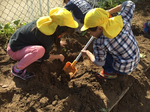 H29 さつま芋掘り (2).JPGのサムネイル画像