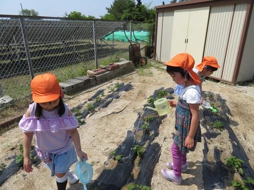 きりん組芋の水やり0609.jpgのサムネイル画像